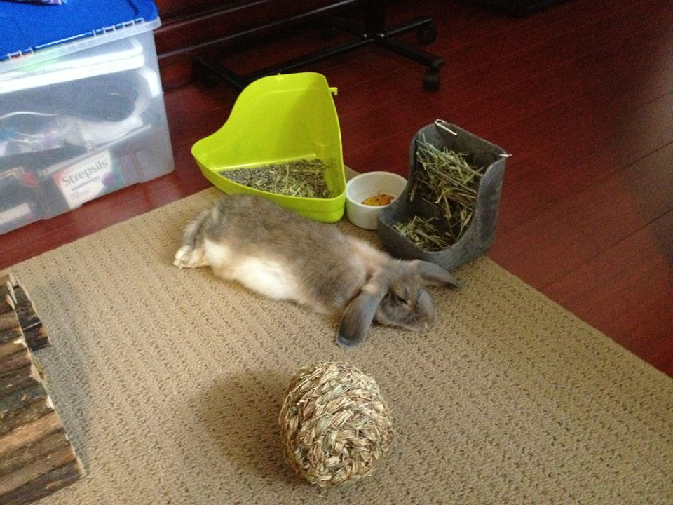 Mokochillin & Cleaning Pee and Taking Names: Litter Training Your Rabbit ... Aboutintivar.Com