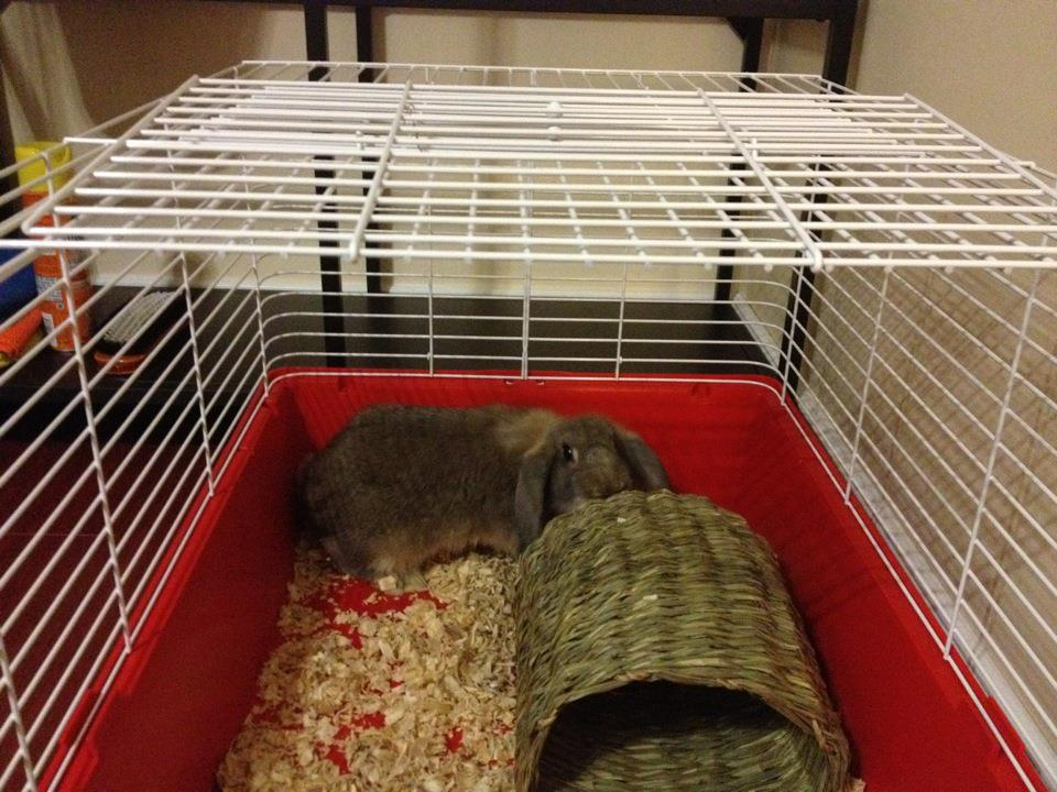 how to clean rabbit pee out of carpet